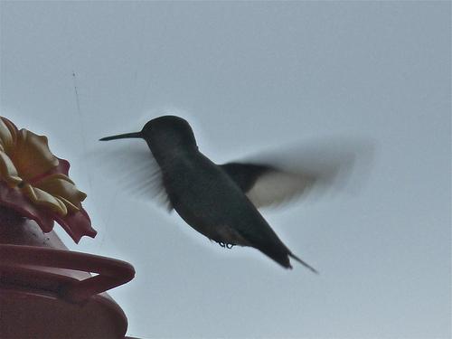 Hummingbird by beccapuglisi via WANA commons, Flickr